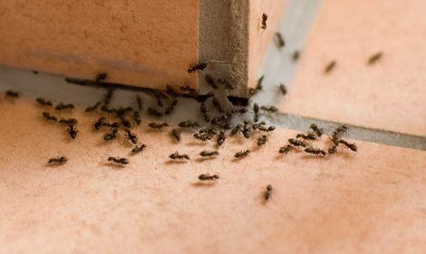 mieren verdelgen Geleen